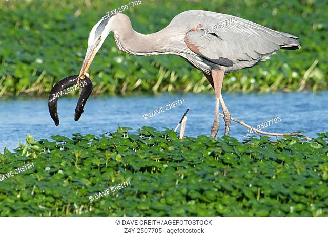 Great Blue Heron with an eel, Brazos Bend State Park, Texas