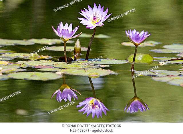 Water Lily (Nymphaea spec.) Germany