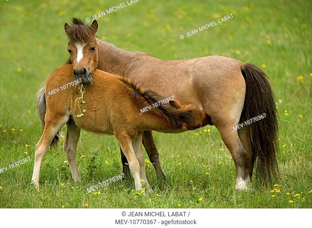 Miniature American Horses - female with foal suckling