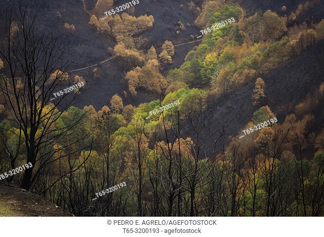 Area affected by a forest fire. Cervantes, Doiras, Lugo province, Galicia, Spain. Date: 07-11-2017
