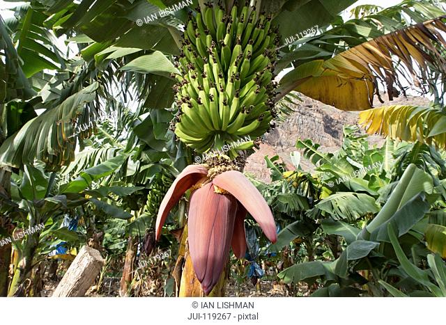 Bananas growing and ripening on tree in plantation