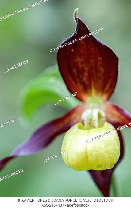 Lady's-slipper orchid - Cypripedium Calceolus -, Parc Naturel de la Chartreuse, Savoie, Rhône-Alpes, France