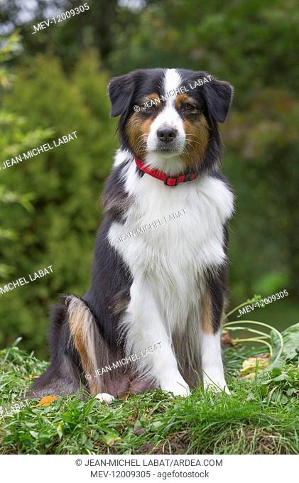 Australian Shepherd Dog outdoors