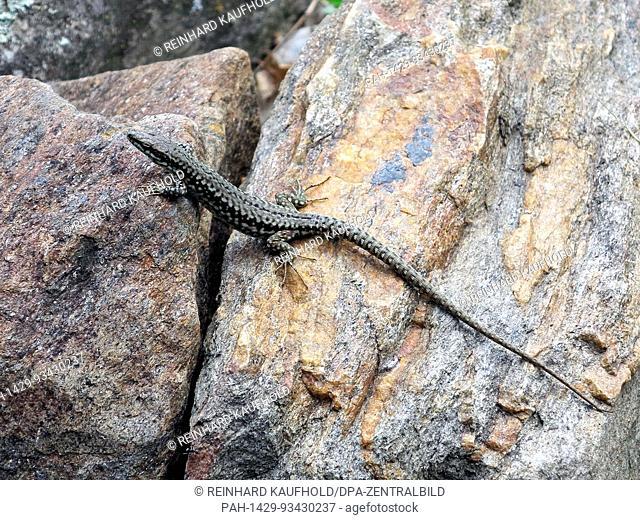A grey lizard on a rock in Vinschgau in South Tyrol. Taken 16.06.2017. Photo: Reinhard Kaufhold/dpa-Zentralbild/ZB | usage worldwide