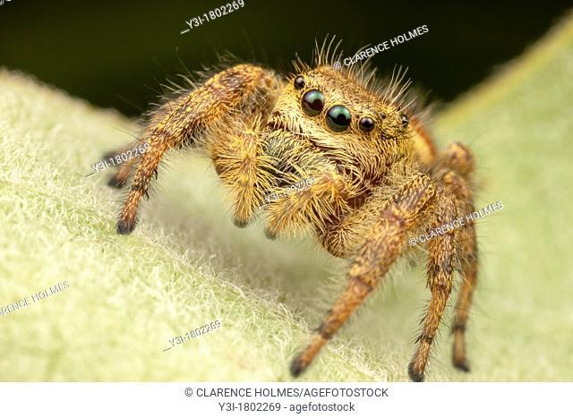 Jumping Spider Phidippus clarus - Female, Ward Pound Ridge Reservation, Cross River, New York, USA