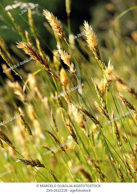 Common grass (Hordeum murinum). Summer at St. Segimon hermitage pathway. Viladrau village countryside. Montseny Natural Park