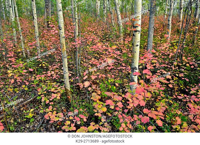 Aspen woodland with an understory of highbush cranberry with autumn foliage, Wood Buffalo National Park, Albert, Canada