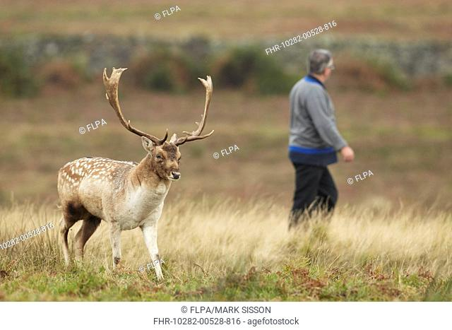 Fallow Deer (Dama dama) buck, crossing path in parkland, with walker in background, Bradgate Park, Leicestershire, England, October