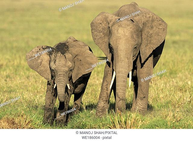 African Elephants eating grass on the savannah, Masai Mara National Reserve, Kenya