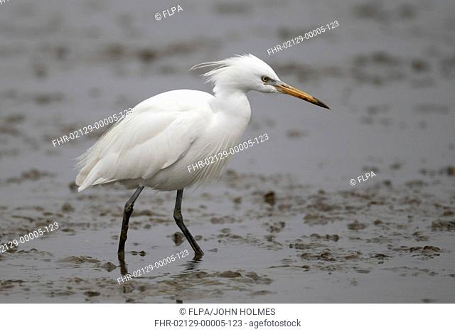 Chinese Egret (Egretta eulophotes) adult, breeding plumage, standing in shallow water on mudflats, Mai Po Marshes Reserve, Deep Bay, New Territories, Hong Kong