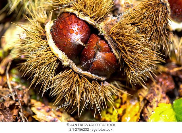 Close up of horse chestnut in husk