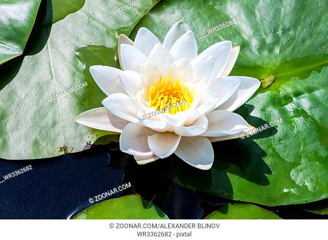 White water lily flower with big green leaves in the lake