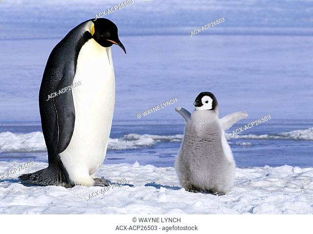 Young emperor penguin Aptenoytes forsteri chick and adult, Snow Hill Island, Weddell Sea, Antarctica