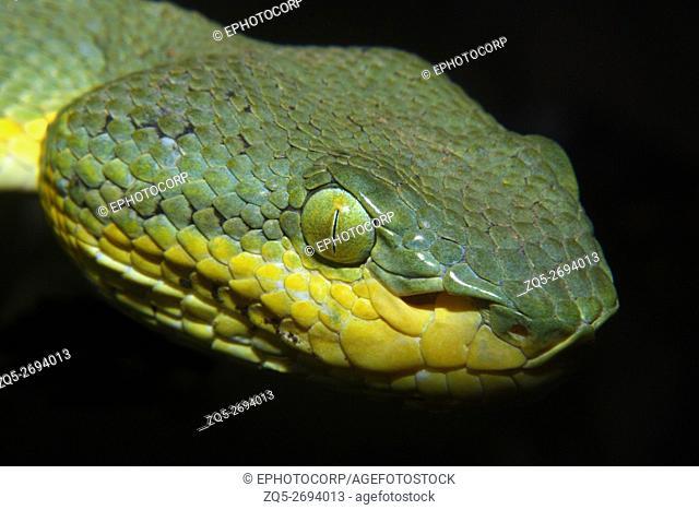 Bamboo Pit Viper, Trimeresurus gramineus. Venomous Common Location- Nane Ghat, Maharashtra