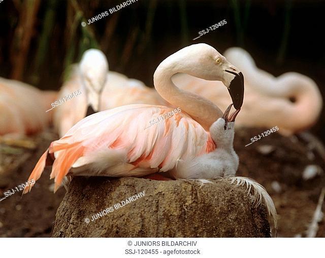 greater flamingo feeding squab / Phoenicopterus ruber