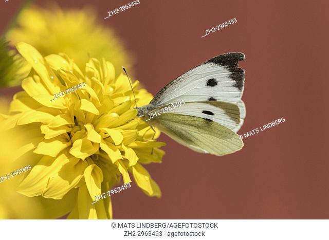 Large white, Pieris brassicae, butterfly sitting on a yellow flower, Skåne, Sweden