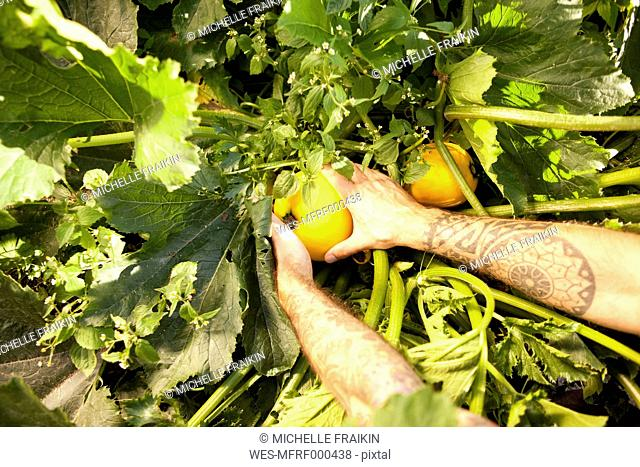 Man's hands harvesting yellow courgettes