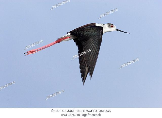 Flight of Black-winged stilt (Himantopus himantopus), Spain