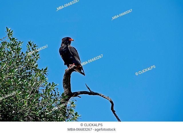 Masai Mara Park,Kenya,Africa Bateleur taken on a trunk of a tree in the Masai Mara Reserve