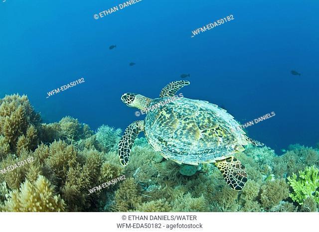 Hawksbill Turtle, Eretmochelys imbricata, Micronesia, Pacific Ocean, Palau