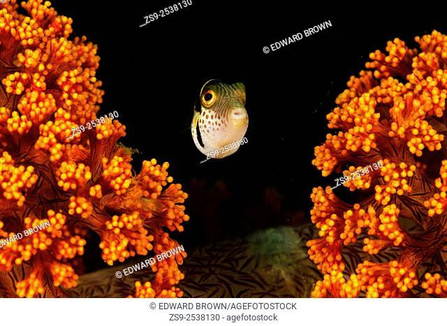 Black saddled puffer fish (Canthigaster valentini) Lembeh Strait, Indonesia