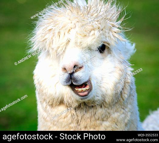 Portrait of a white adult Alpaca