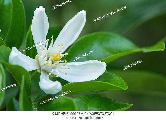 A lemon blossom