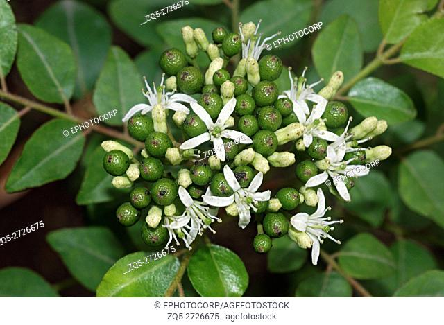 Flowers of Murraya koenigii, the curry leaf tree. It is a small evergreen tree which is normally found in the shade of other trees in the wild
