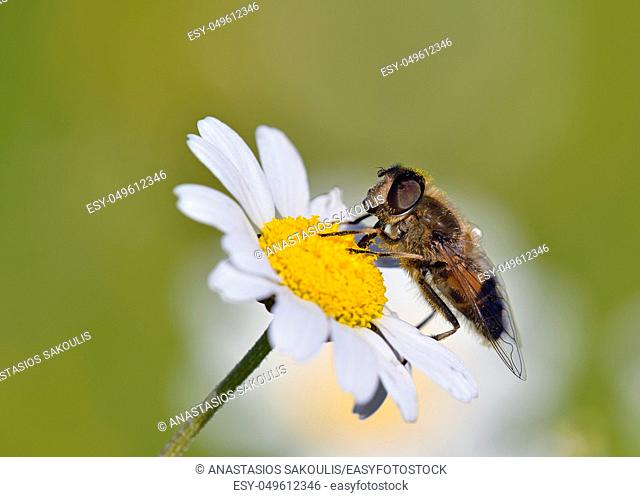 Hoverfly Epistrophe eligans, Crete, Greece
