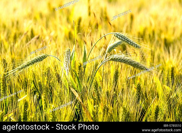 Close-up of a wheat ear in a wheat field, Limagne, Department of Puy de Dome, Auvergne Rhone Alpes, France, Europe