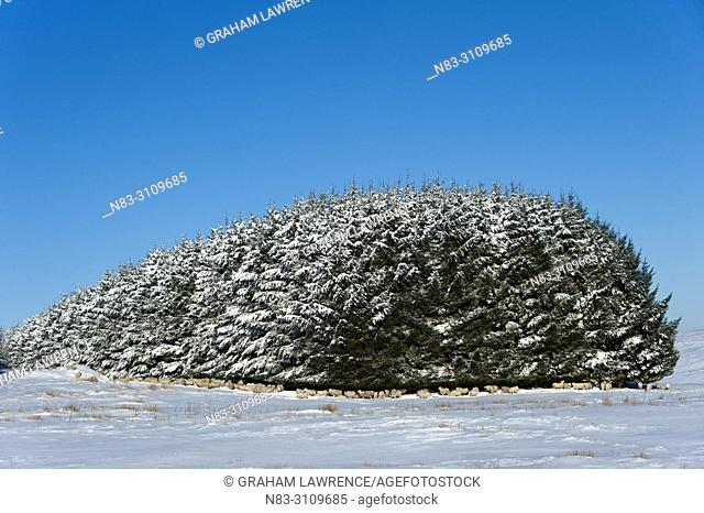 Sheep shelter beneath tree in a wintry landscape on the Mynydd Epynt moorland, Powys, Wales, UK