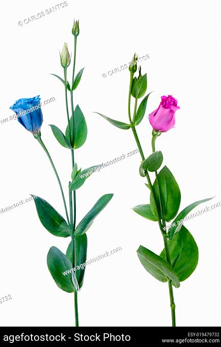 Two beautiful blue and violet flowers