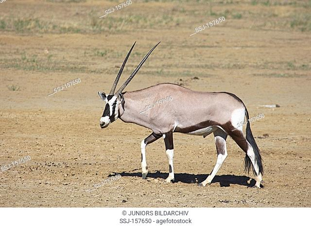 gemsbok - walking / Oryx gazella