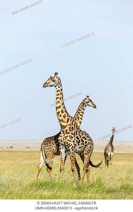 Kenya, Masai-Mara Game Reserve, Girafe masai (Giraffa camelopardalis), couple