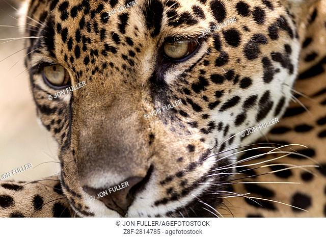 Jaguar, Panthera onca, in a private reserve in Costa Rica