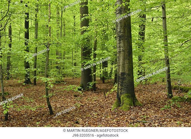 Vital green forest in spring. Bavaria, Steigerwald, Germany