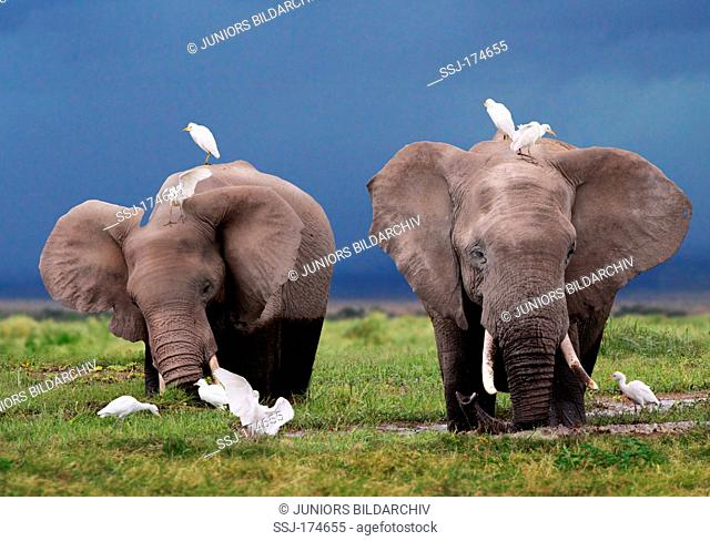 African Elephant (Loxodonta africana). Two individuals with Cattle Egrets, Buff-backed Herons (Bubulcus ibis, Ardeola ibis) in a swamp. Kenya
