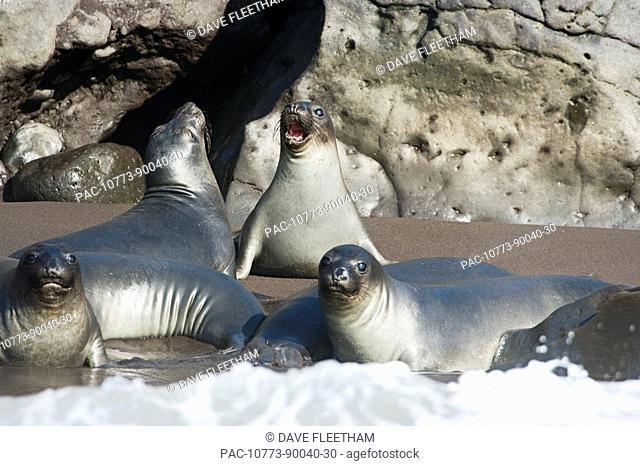 Mexico, Guadalupe Island, Northern elephant seal pups Mirounga angustirostris