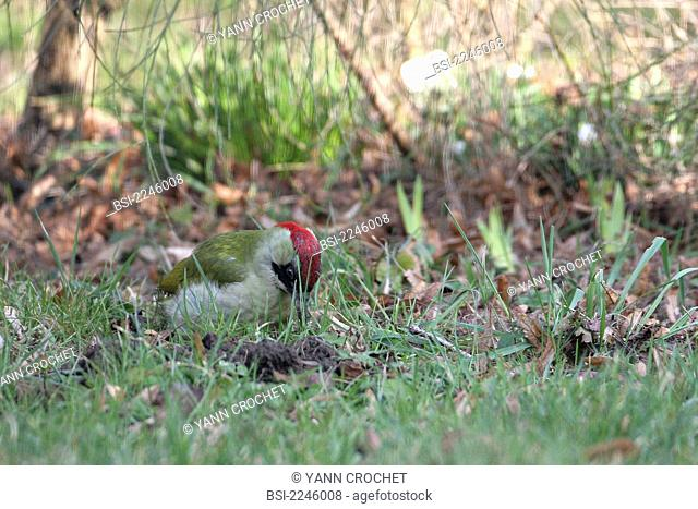 Eurasian green woodpecker Picus viridis, picture taken in Picardy, France. Picus viridis  Eurasian green woodpecker  Woodpecker  Picid  Bird