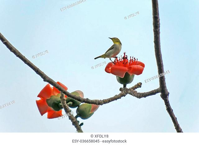 Red bombax ceiba Stock Photos and Images | age fotostock