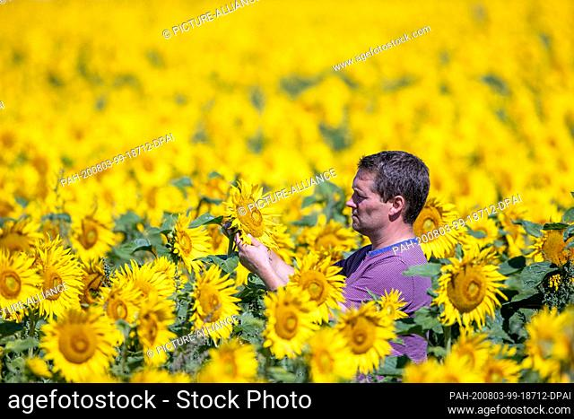 31 July 2020, Mecklenburg-Western Pomerania, Finkenthal: On a sunflower field belonging to the Fürstenhof producer association
