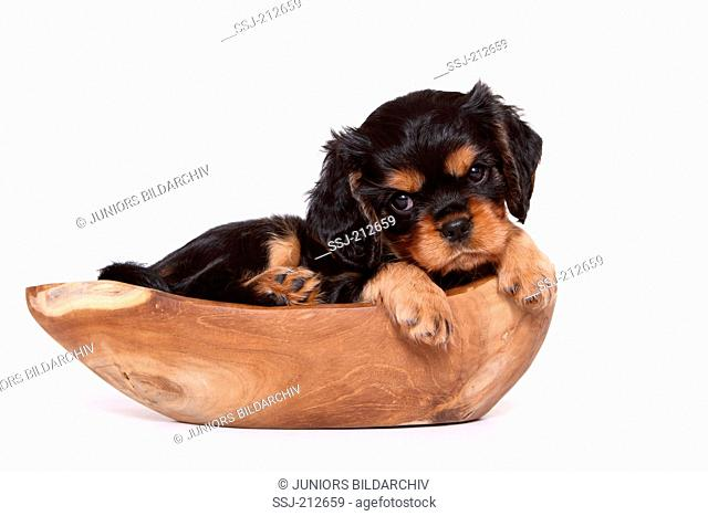 Cavalier King Charles Spaniel. Puppy (6 weeks old) lying in a wooden bowl. Studio picture against a white background. Germany
