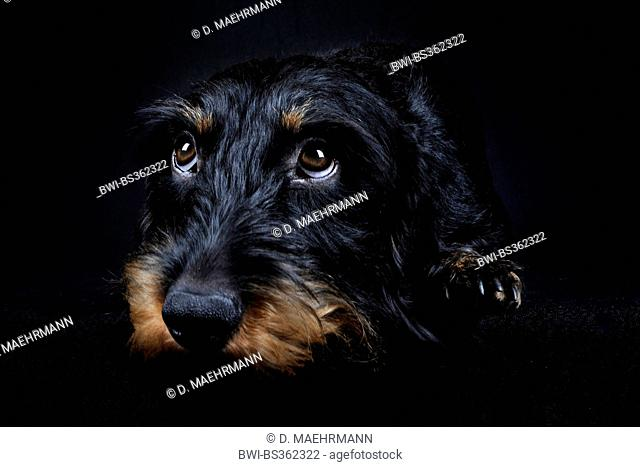 Wire-haired Dachshund, Wire-haired sausage dog, domestic dog (Canis lupus f. familiaris), lying dachshund in front of black background, Europe, Germany