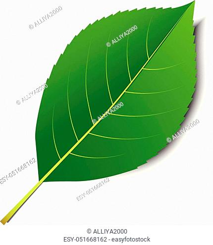 Vector green leaf isolated on a white background