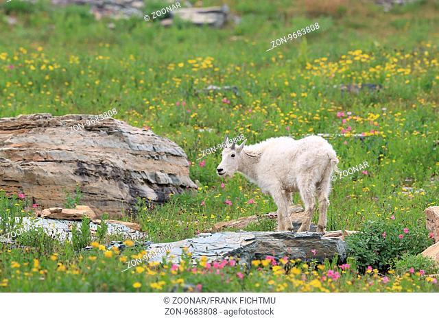 Schneeziege Mountain Goat Glacier National Park