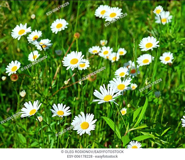 Green flowering meadow with white daisies. Natural background