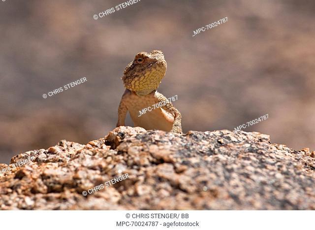 Etosha Agama (Agama etoshae) on a rock, Richtersveld Transfrontier National Park, South Africa