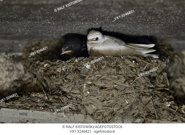 Barn Swallow / Rauchschwalbe ( Hirundo rustica ), chicks in nest, almost fledged, one with a rare pigment defect, white plumage, leucistic, leucism, Europe
