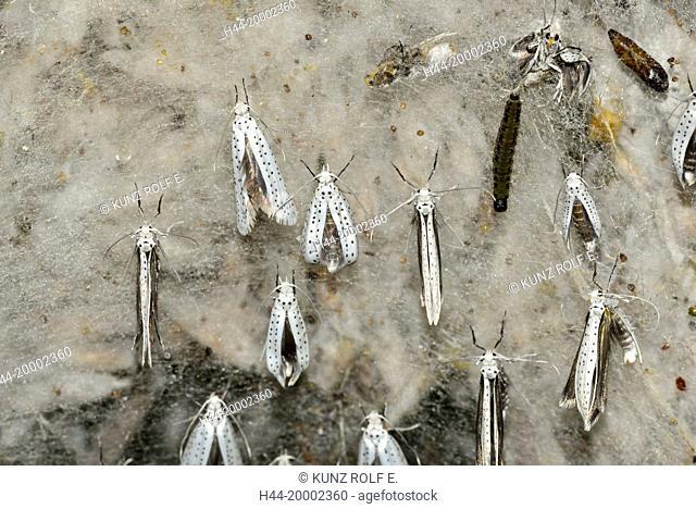 Ermine moth, Yponomeuta spec.