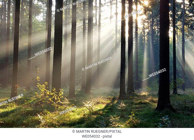 Sunrays at mist in forest (morning mood). Saxon Switzerland, Saxony, Germany, Europe